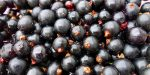 Die schwarze Johannisbeere: erfrischt, beruhigt und reinigt